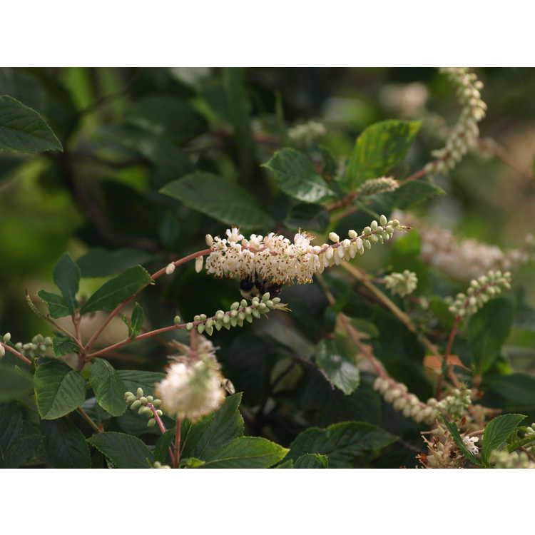 Clethra alnifolia Sherry Sue