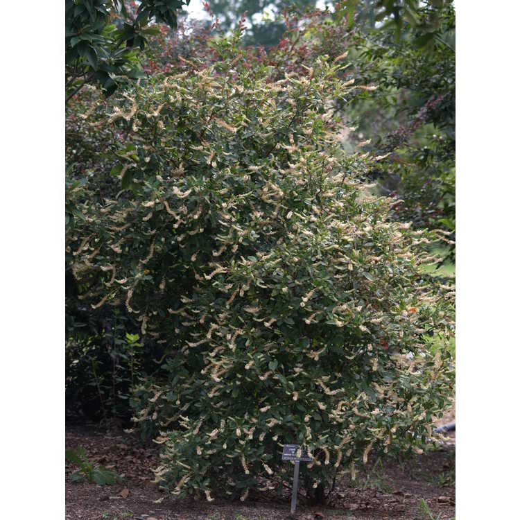 Clethra alnifolia 'Sherry Sue' - redtwig summersweet clethra