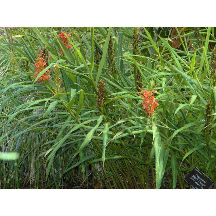 Hedychium 'Slim's Orange'