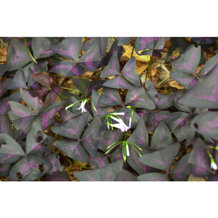 Oxalis triangularis subsp. papilionacea - purple shamrock