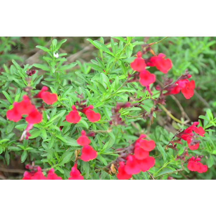 Salvia 'Red Letter' - hybrid autumn sage