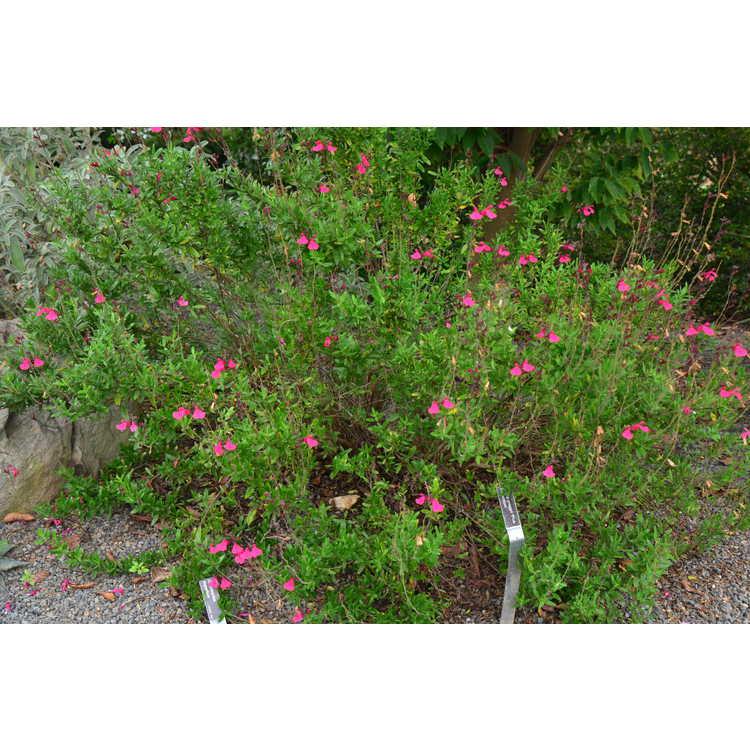 Salvia greggii 'Pink Perfection'