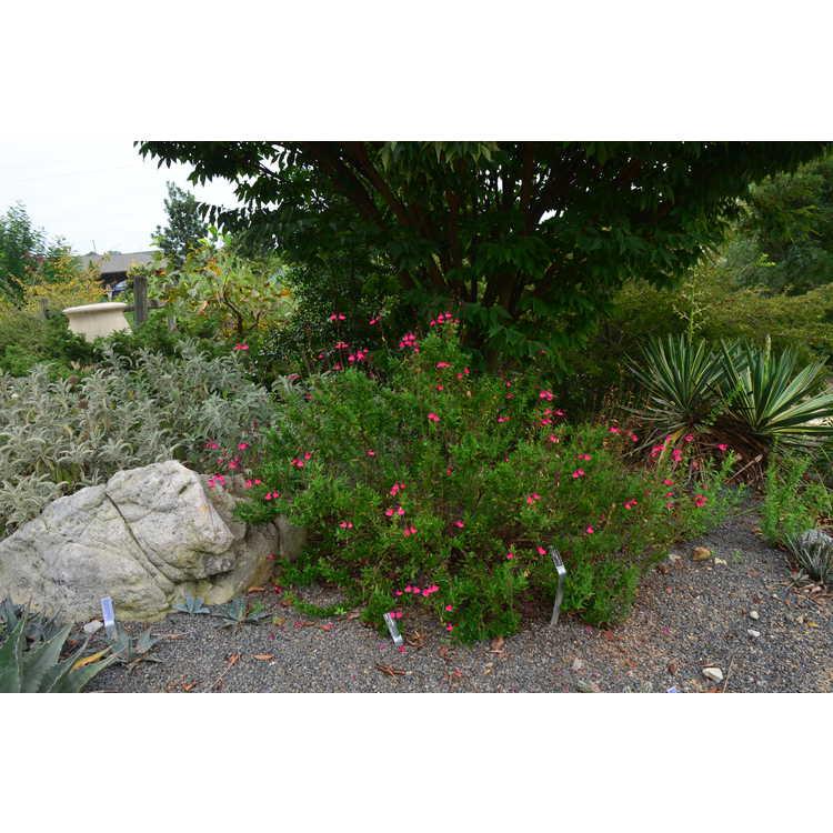 Salvia greggii 'Pink Perfection' - autumn sage