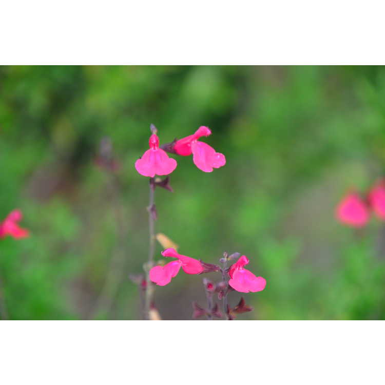 Salvia greggii 'Pink Perfection' - autumn sage