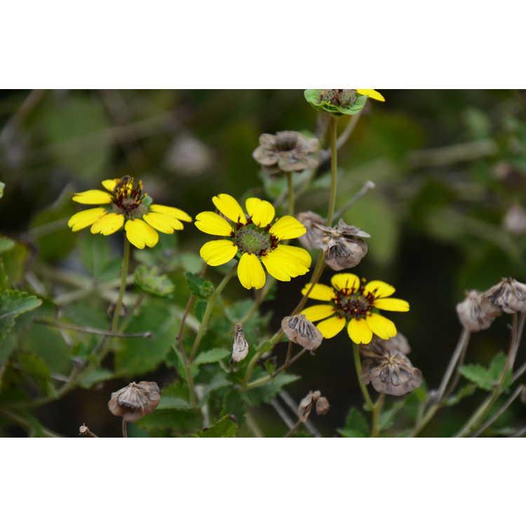 Berlandiera subacaulis - Florida chocolate daisy