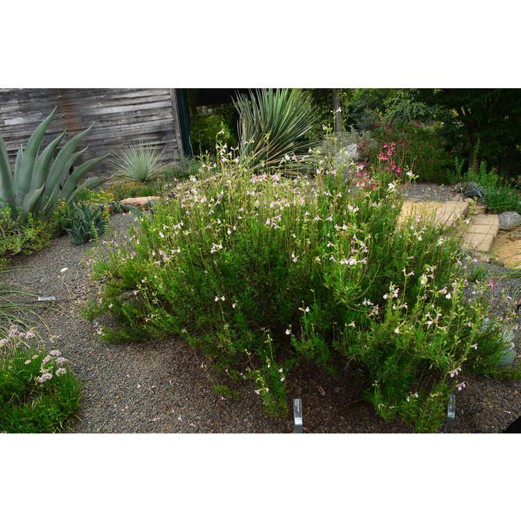 Salvia greggii 'Teresa' - autumn sage