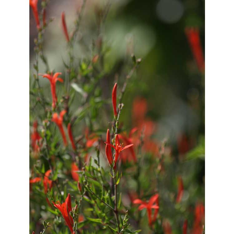 Anisacanthus quadrifidus var. wrightii - flame acanthus