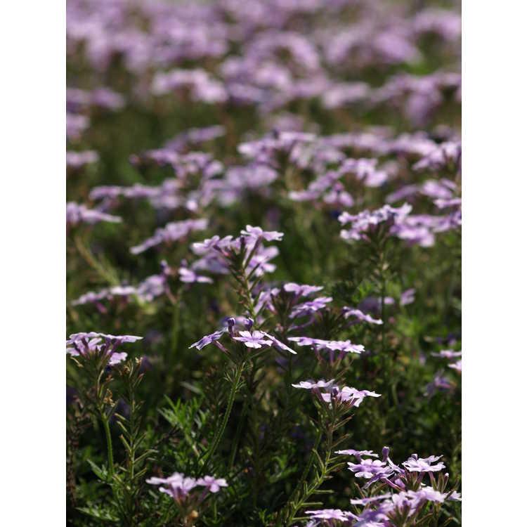 Verbena 'Lavender Falls'