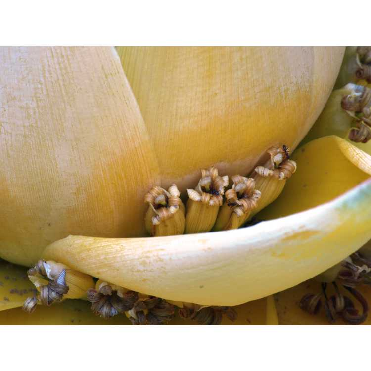 Musella lasiocarpa - Chinese yellow banana