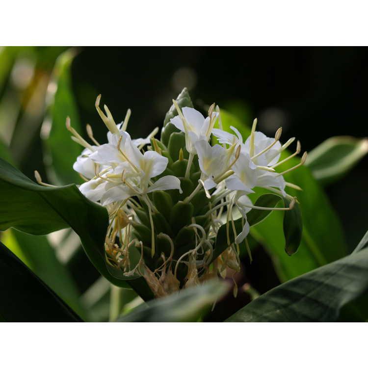 Hedychium White Starburst