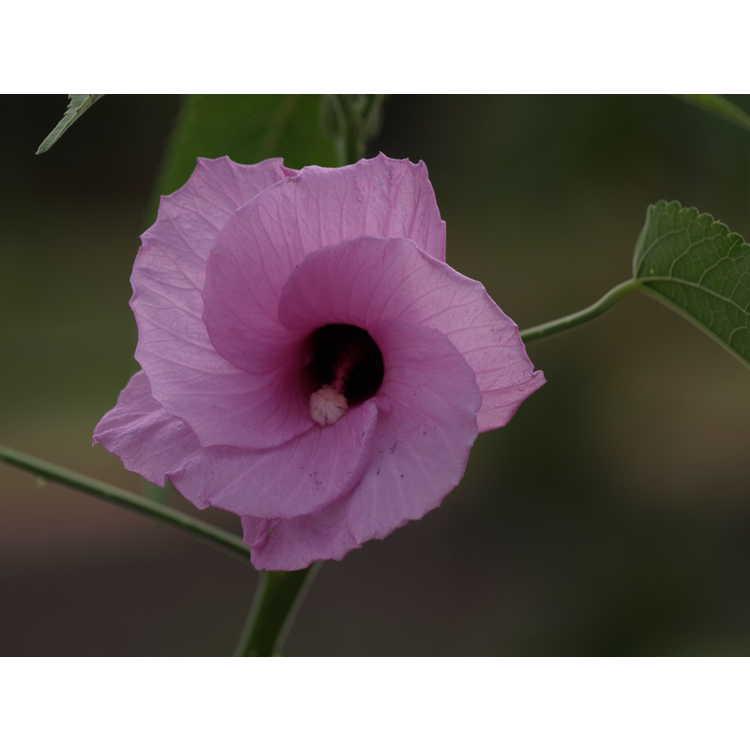 Hibiscus cubensis