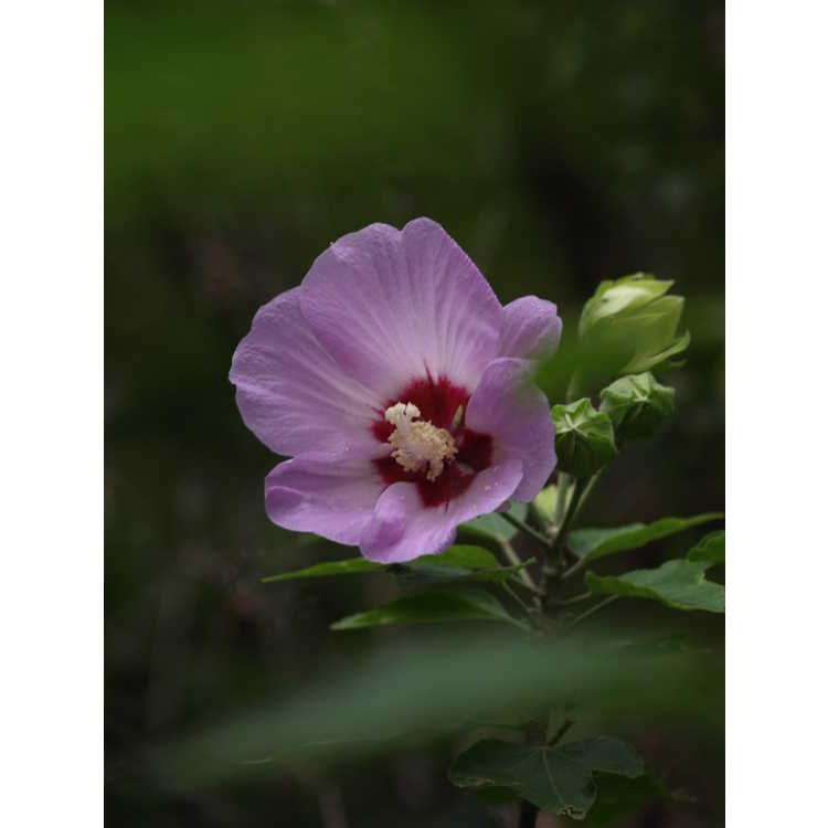 Hibiscus sinosyriacus 'Lilac Queen' - Chinese rose-of-Sharon