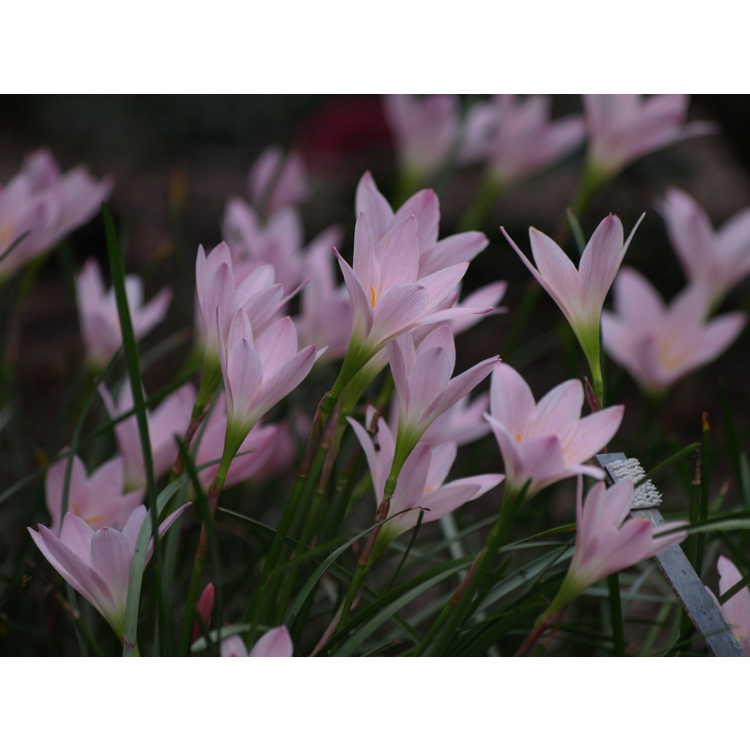 Zephyranthes 'Grandjax' - rain-lily