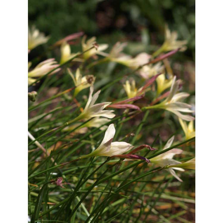 Zephyranthes reginae - rain-lily