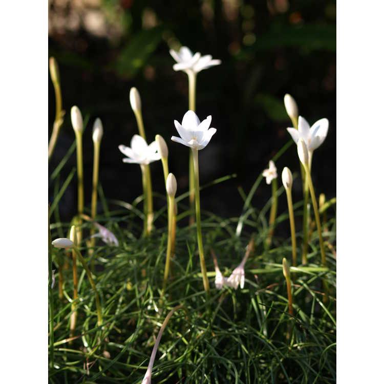 Zephyranthes traubii 'San Carlos Form'