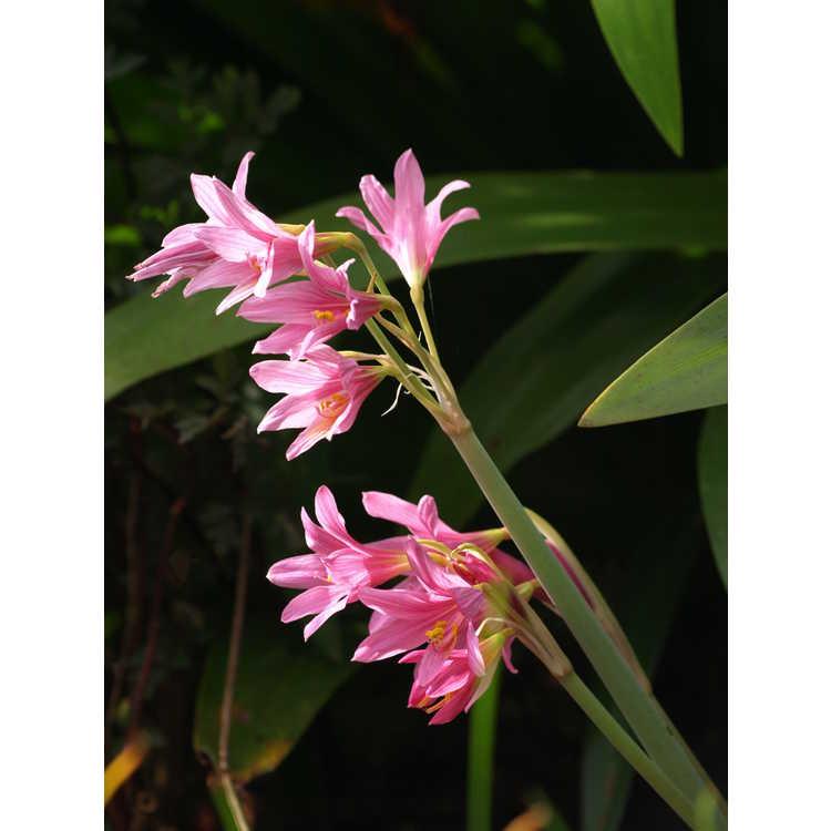 Rhodophiala bifida var. spathacea - pink oxblood-lily