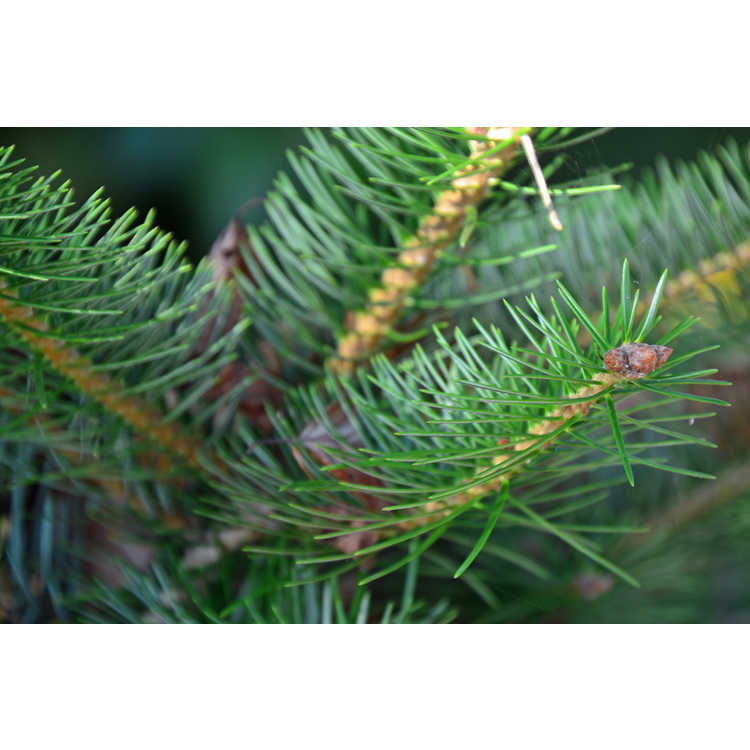 Abies holophylla