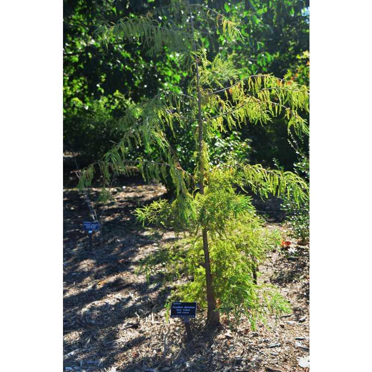 Taxodium distichum 'Peve Yellow'