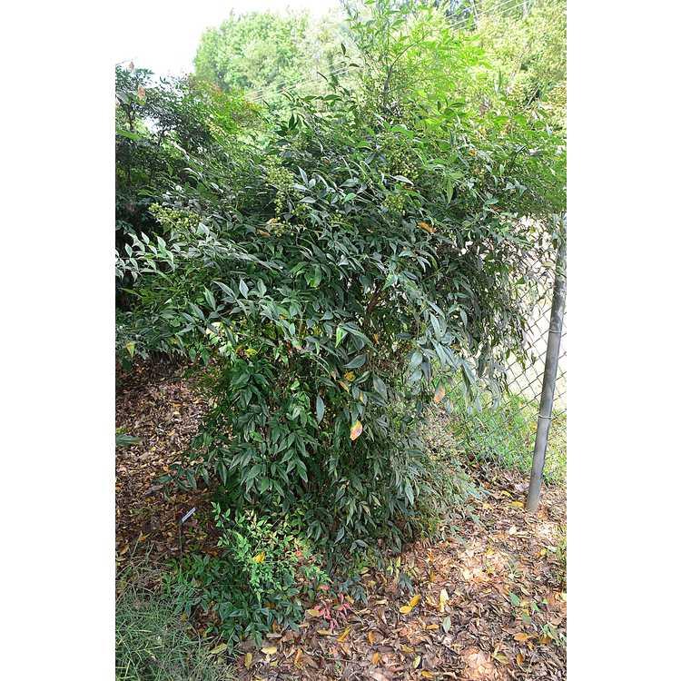 Nandina domestica - heavenly bamboo