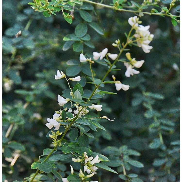 Lespedeza thunbergii 'White Fountain' - white bush-clover