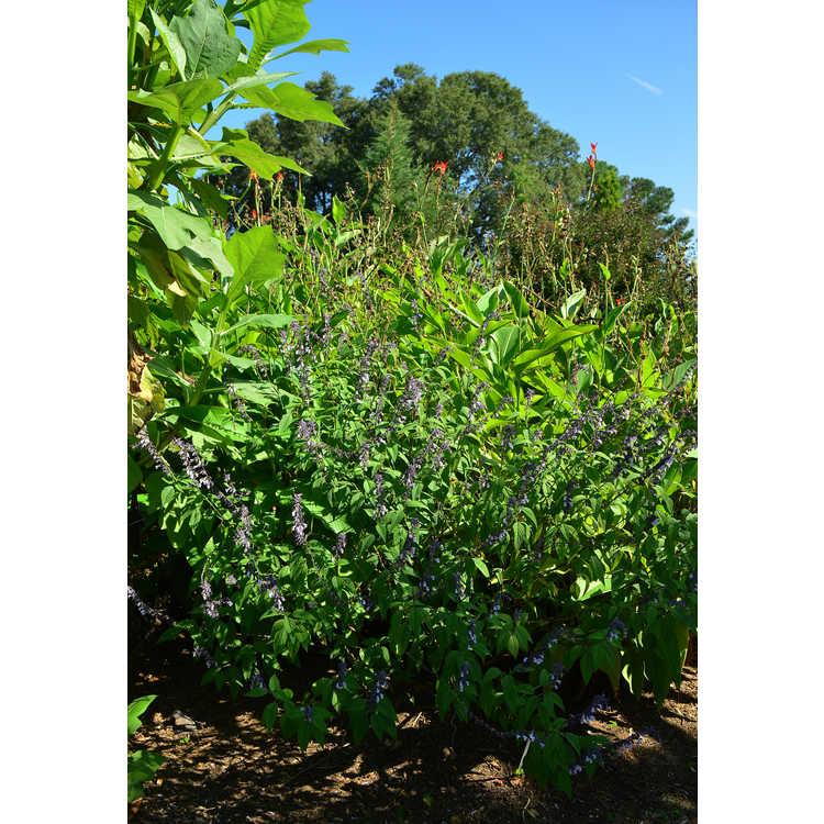 Salvia 'Phyllis' Fancy' - flowering sage