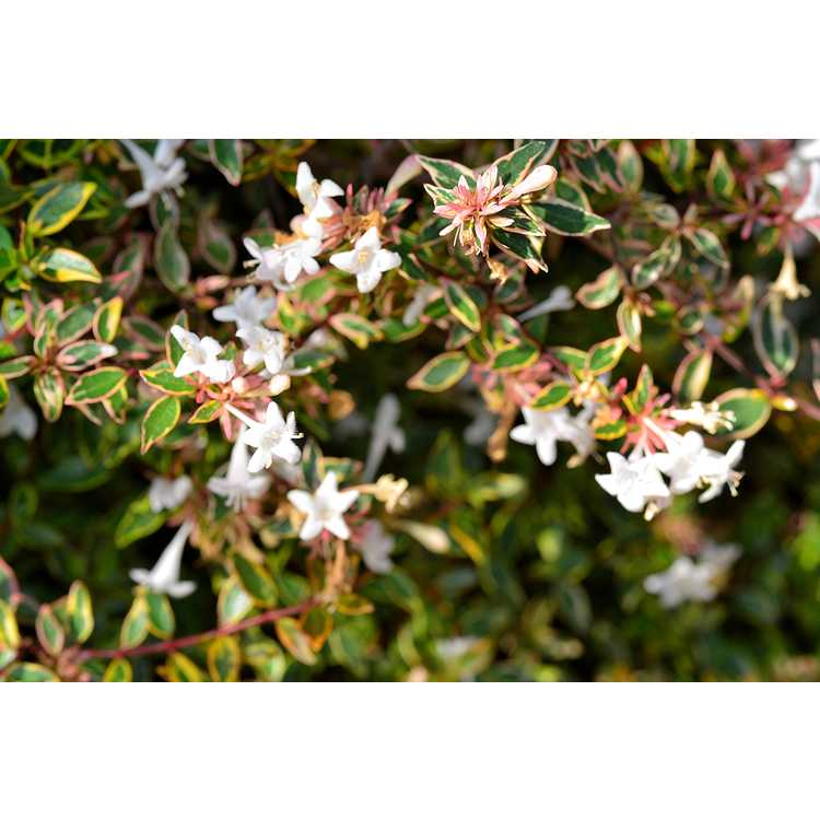 Abelia ×grandiflora 'Margarita' - Twist of Orange variegated glossy abelia