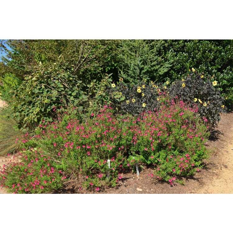 Salvia greggii 'Grace Pink' - autumn sage