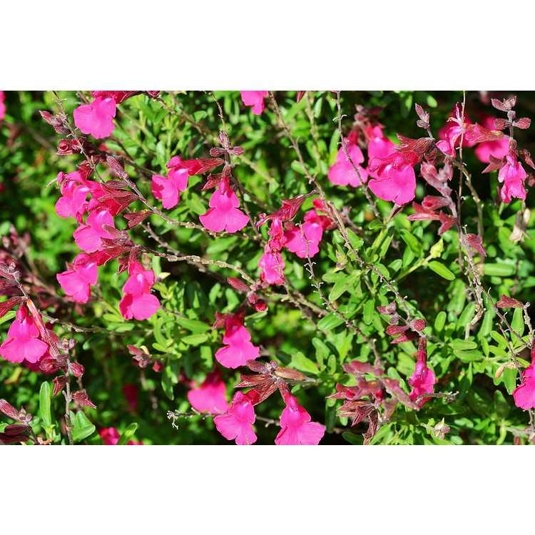 Salvia greggii Grace Pink