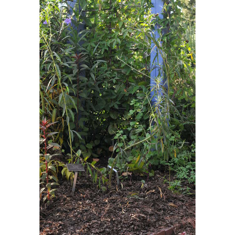 Gomphocarpus physocarpus - swamp milkweed