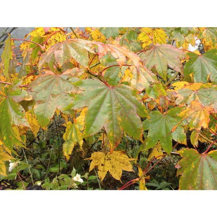 Acer campbellii subsp. flabellatum
