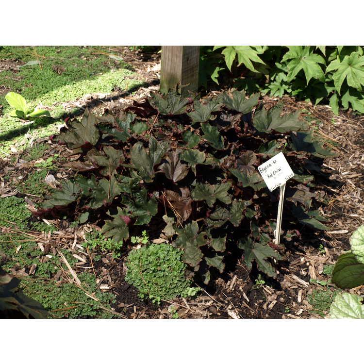 Begonia 'Red China'