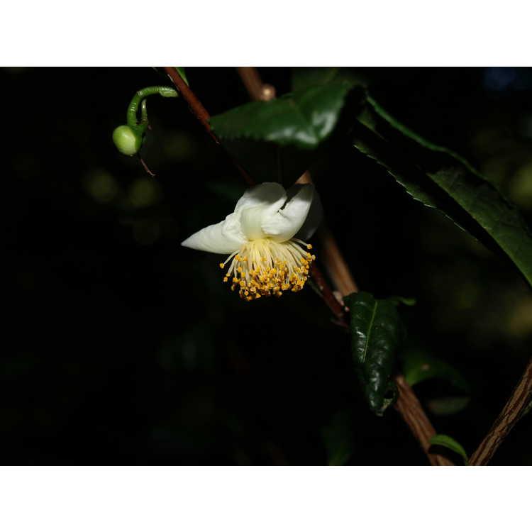 Camellia sinensis 'Unryu'