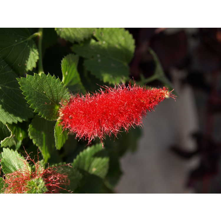 Acalypha pendula - creeping chenille plant