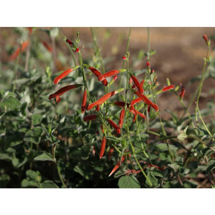 Salvia lineata - Oaxaca Orange Wooly Sage