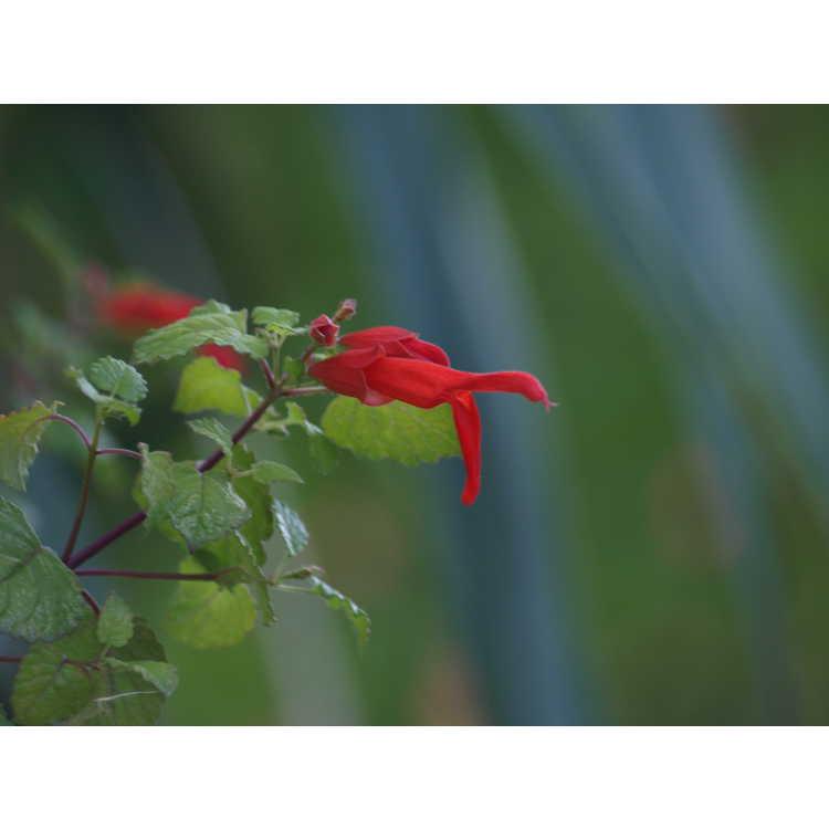 Salvia regla (Huntington Botanic Gardens)