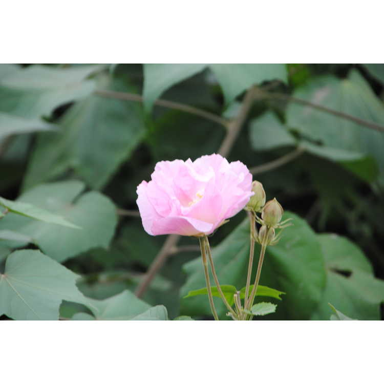 Hibiscus mutabilis - Confederate rose