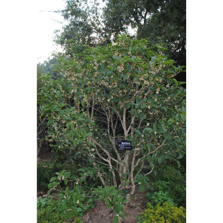 Osmanthus fragrans 'Fudingzhu' - sweet-olive
