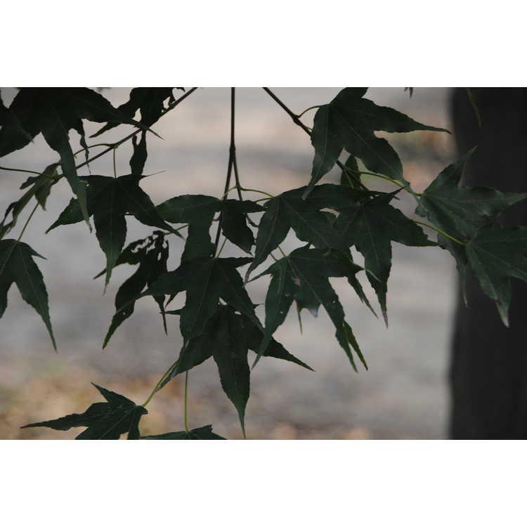 Acer campbellii subsp. sinense