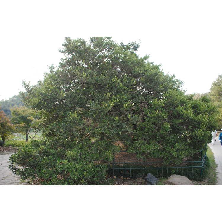 Buxus sinica - Chinese boxwood