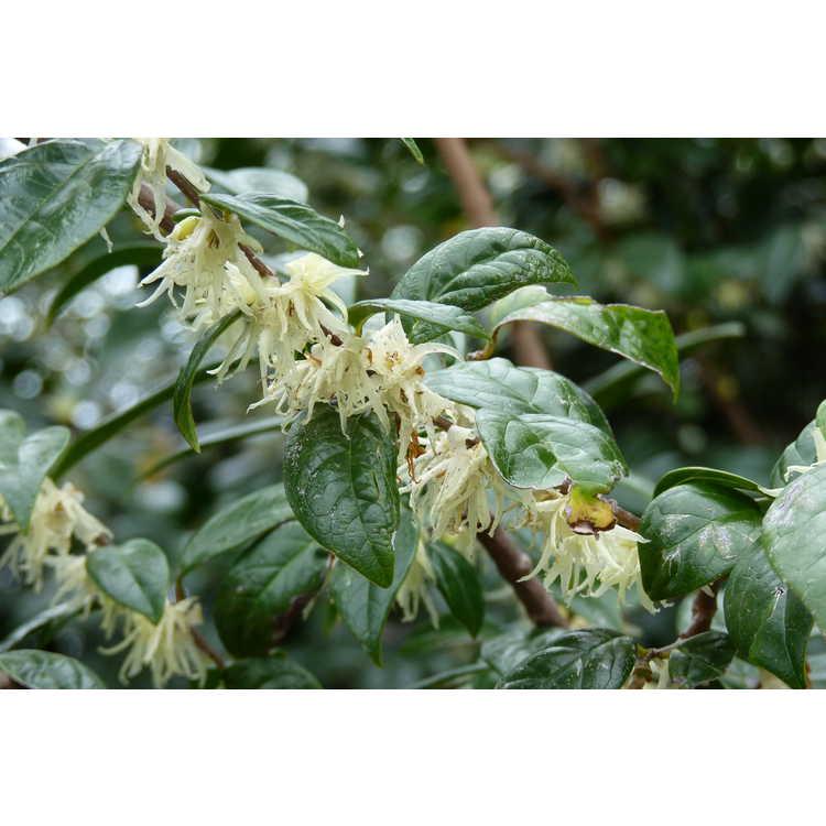 Chimonanthus zhejiangensis