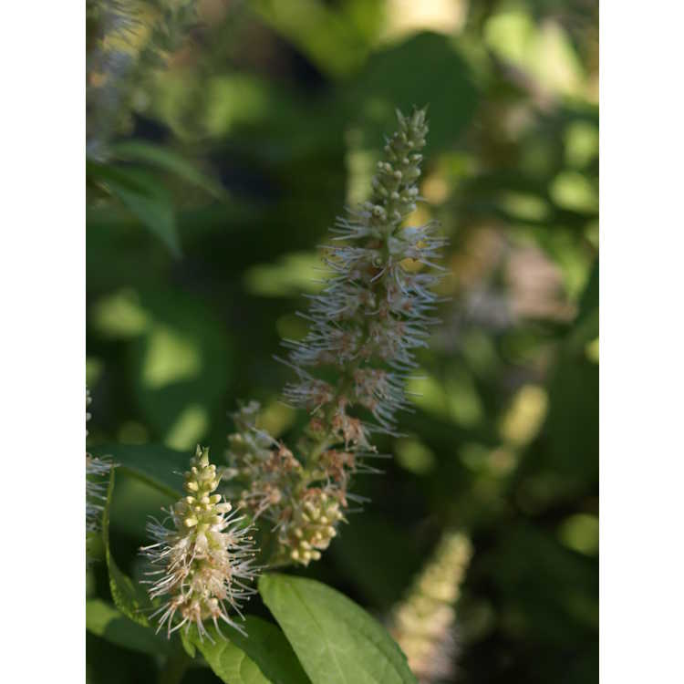 Comanthosphace japonica 'Golden Angel' - gold Japanese shrub mint