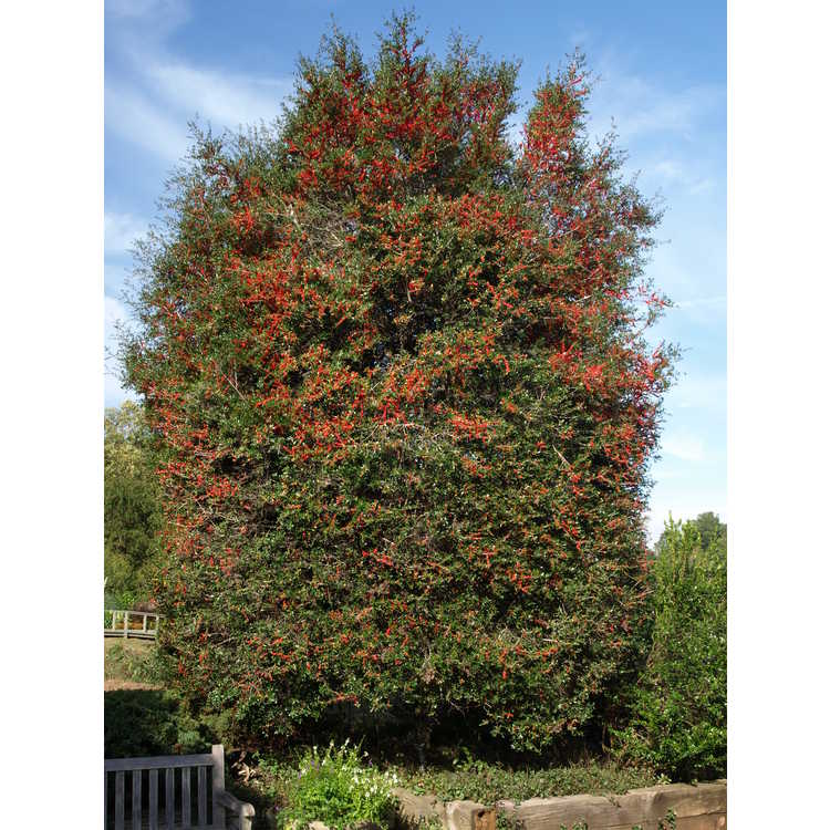 Ilex vomitoria - yaupon holly