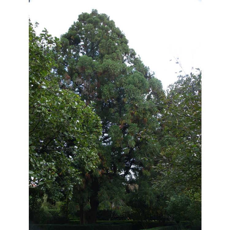 Cryptomeria japonica - Japanese-cedar