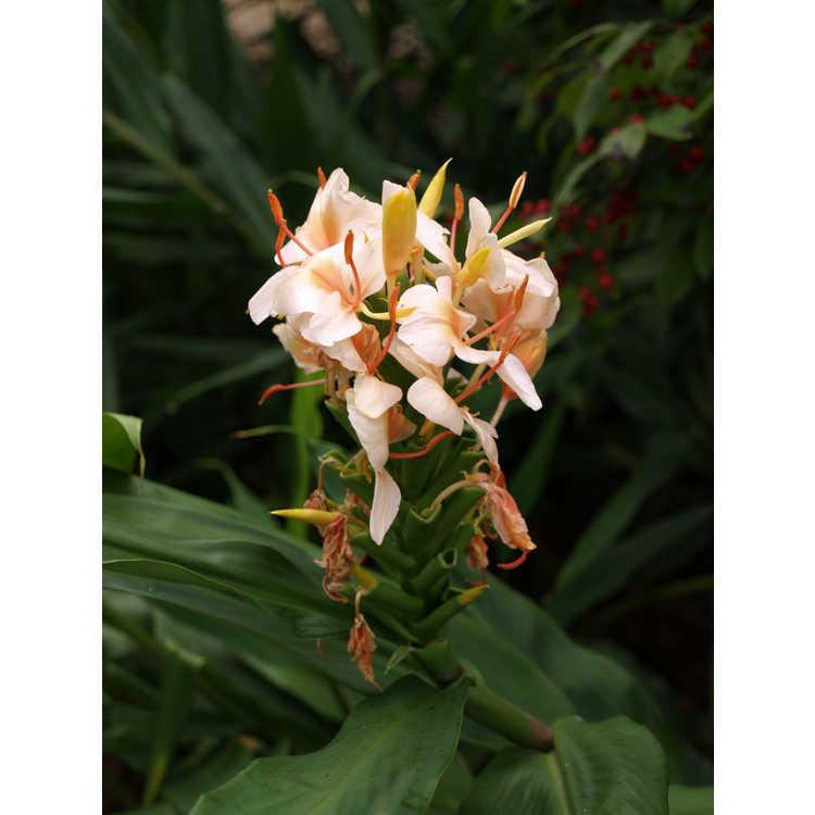 Hedychium 'Peach Delight'