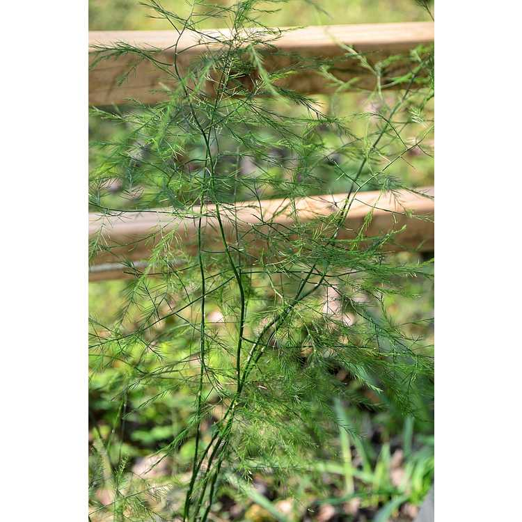 Asparagus virgatus