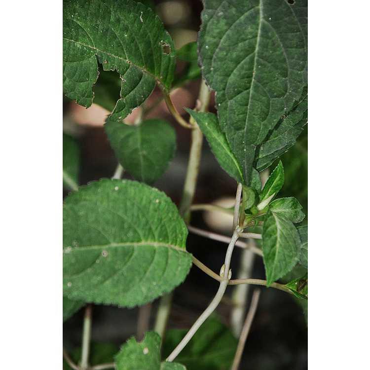 Hydrangea serrata [Amacha Group] 'Ô Amacha Nishiki' - variegated mountain hydrangea
