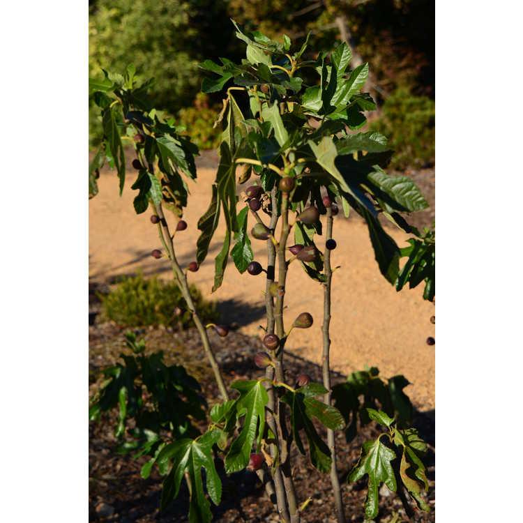 Ficus carica 'Violette de Bordeaux'
