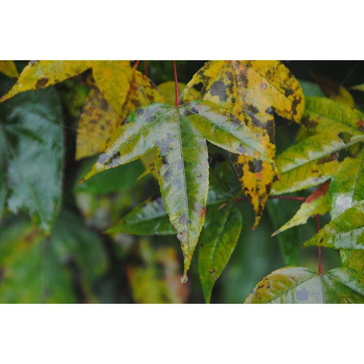 Acer sikkimense subsp. metcalfii