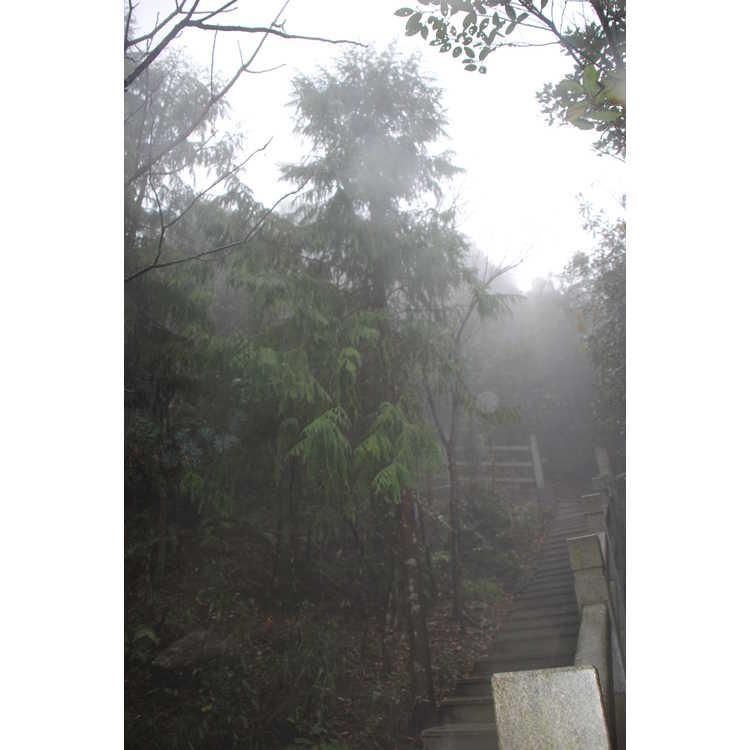 Taiwania cryptomerioides Flousiana Group - Chinese coffin cypress