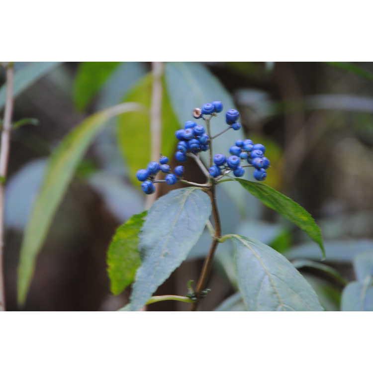 Dichroa aff. yaoshanensis